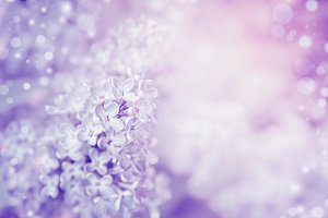 Purple lilac bloming background