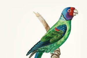 Drawing - long tailed green parakeet