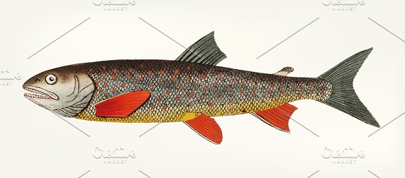 Hand Drawn Of Salvelin Trout