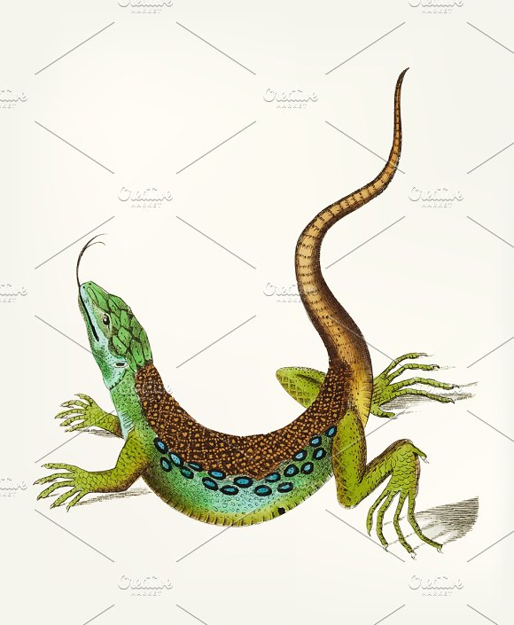 Hand Drawn Of Great Spotted Lizard