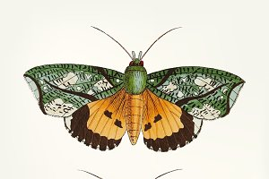 Hand drawn of hypermnestra moth