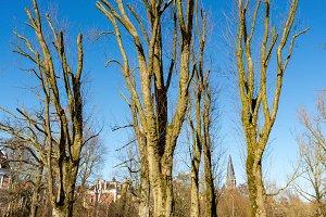 Pruned trees Amsterdam Vondelpark