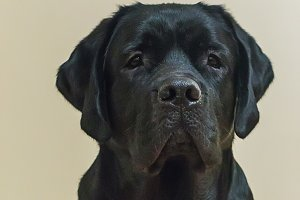 Portrait of young black labrador