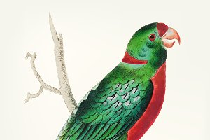 Drawing- short tailed green parakeet