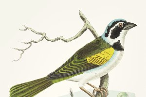 Hand drawn of silent tanager