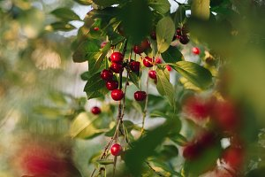 Ripe cherry on the branches