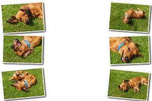 Collage dogs spaniel