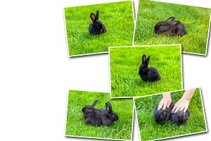 Collage  Black rabbit