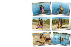 Collage german shepherd