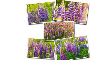 Collage Lupine flower growing