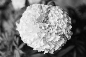 Dianthus Chinensis in Black White