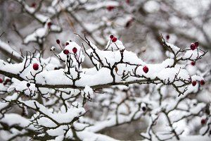 A branch of wild rose in the snow.