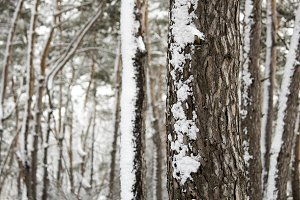 Winter forest. Pine forest in winter