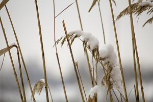 Reed in snow, snow on a reed