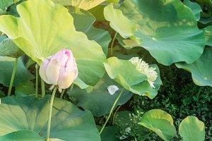 lotus flower in blooming