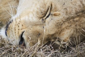 Young Male lion sleeping