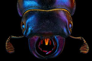 European rhinoceros bug portrait