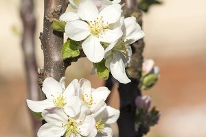 Blooming apple tree. Spring