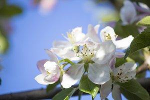Blooming apple tree. Spring