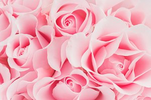 Blooming pink roses
