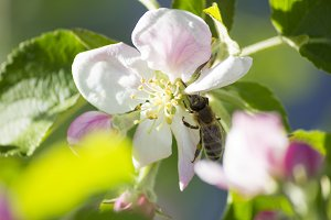 Blooming apple tree. The bee