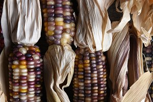 Flint Corn Cobs Closeup