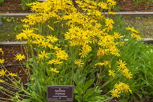 Flowering arnica montana