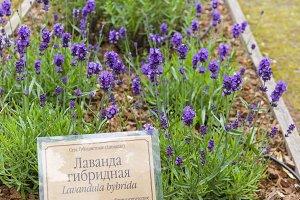 Flowerin lavender