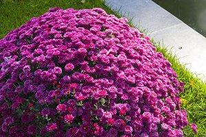 Flower bed with bright chrysanthemum
