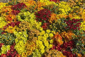 Flowering chrysanthemums