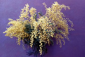 Dry mimosa on purple background