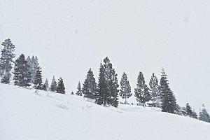 Snowstorm & Pine Trees
