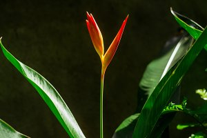 tropical flower strelitzia
