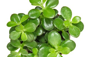 Succulent plant with green leaves