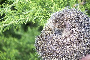 Hedgehog in the grass, wild nature