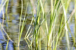 River grass in water.