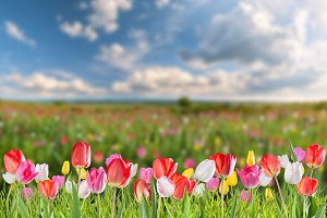 Tulip flowers meadow