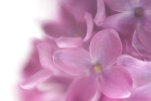 Lilac flower background