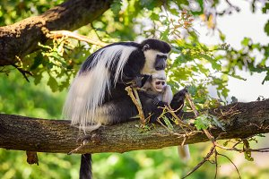 Mantled guereza and its baby