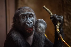 Gorilla playing with a twig