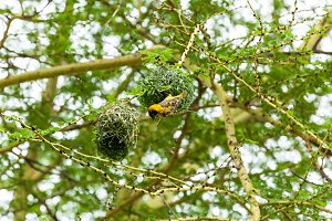 yellow bird nest