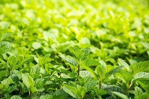peppermint leaves of mint