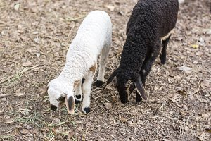two sheep has black and white