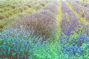 Summer lavender field