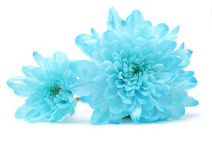blue chrysanthemum flower