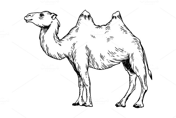 Camel Engraving Vector Illustration