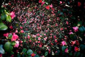 wonderful floral camellia background