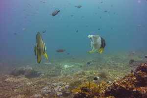 Butterfly fish on the coral reef