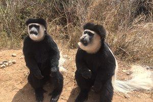 Cute colobus monkeys