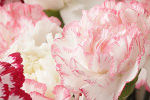 Pink and white carnation flowe